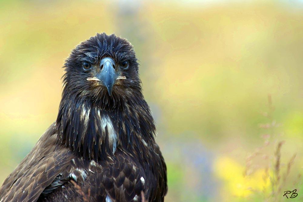 Parc Nature de Pointe-aux-Outardes eagle