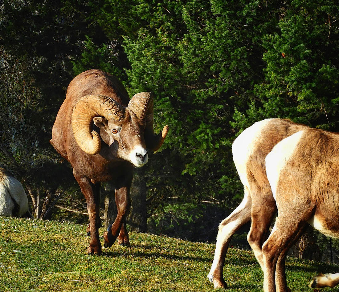 Bighorn sheep rams fight