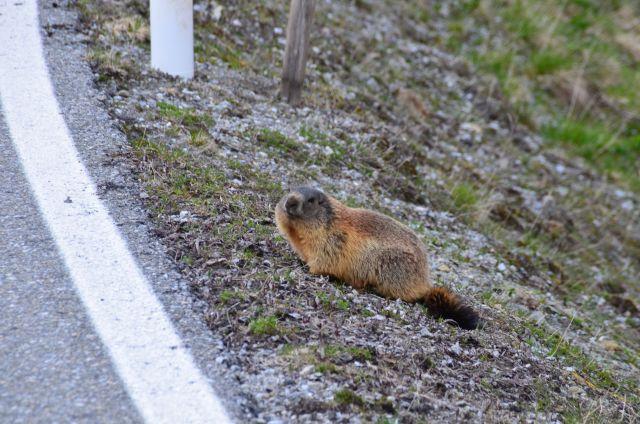 Marmotte croisée à l'Umbrailpass