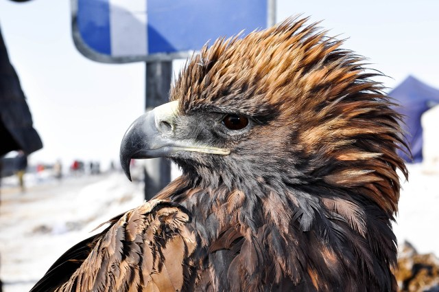 Trained Eagle in Mongolia