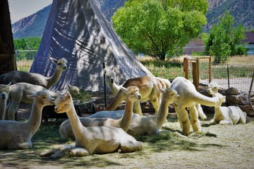 group of resting alpaca near a teepee