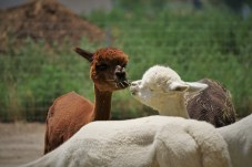 brown alpaca and white alpaca kissing