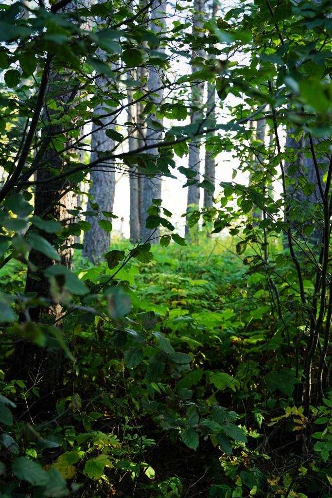 Aspens in Green foliage