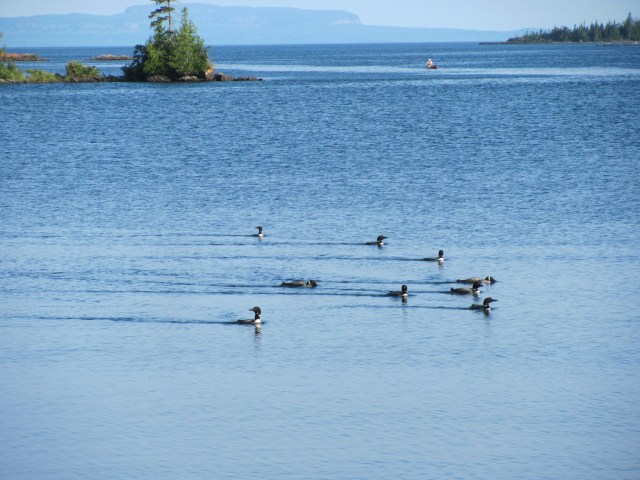 Loons at Lane Cove in Isle Royale National Park