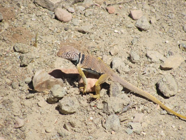 Grand Canyon Rim to Rim with kids-You Shall Not Pass!  The Collared Lizard on the Trail