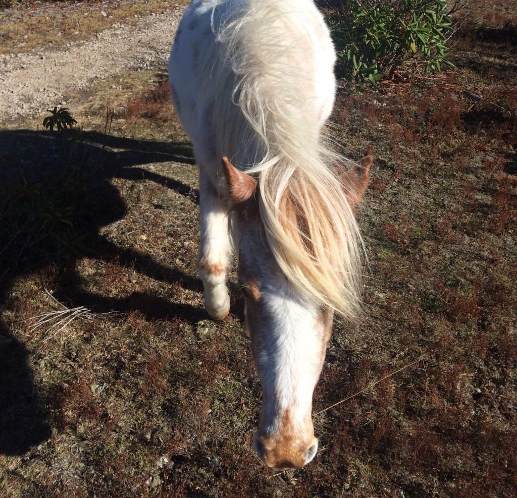 Grayson Highlands State Park Ponies