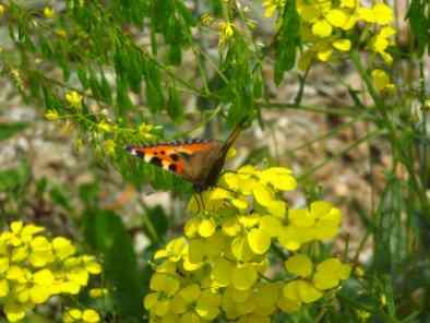 Butterfly in Runc Gorge (1)