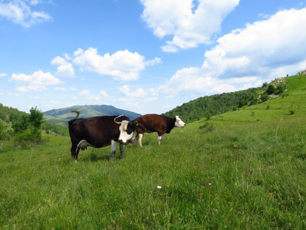 Cows in the richest possible pastures