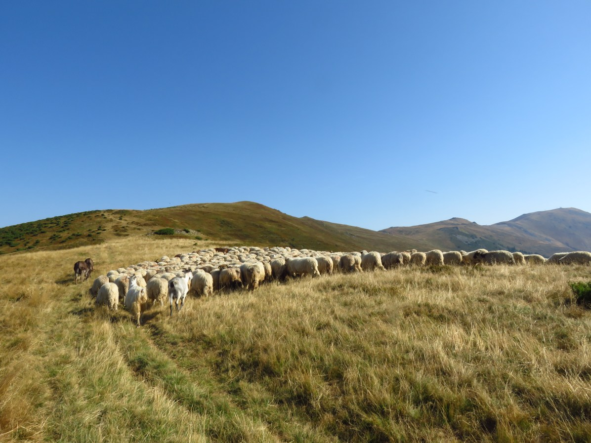 Sheep in the Valcan mountains