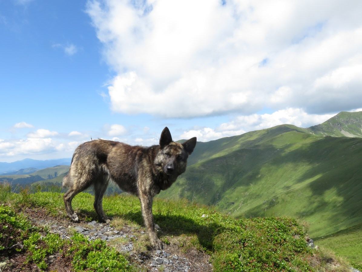 Fluffy in the Rodna Mountains