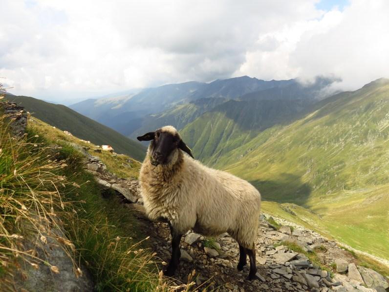 Curious sheep below Moldoveanu Peak
