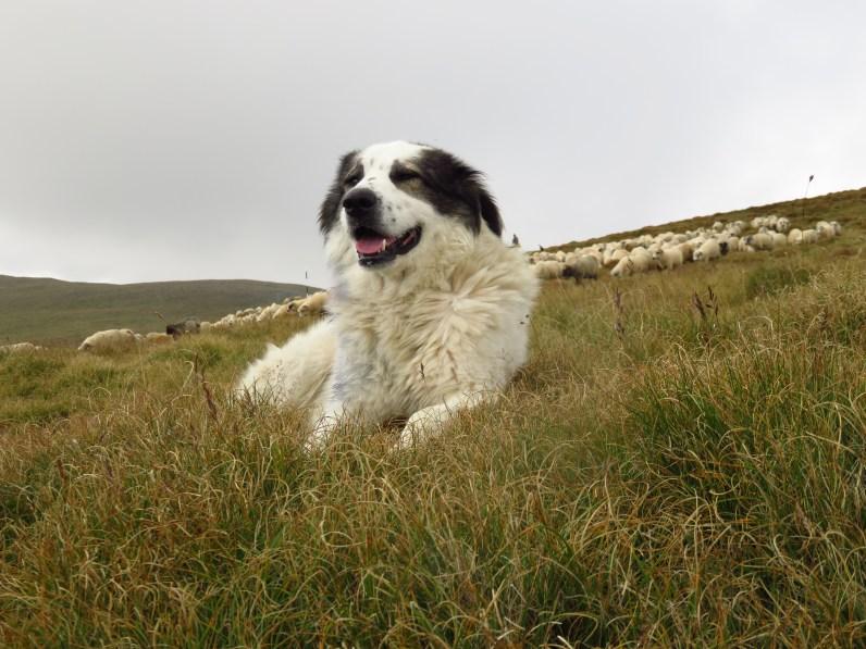 A friendly sheepdog in the Fagaras