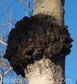 Birch Tree Chaga Mushroom
