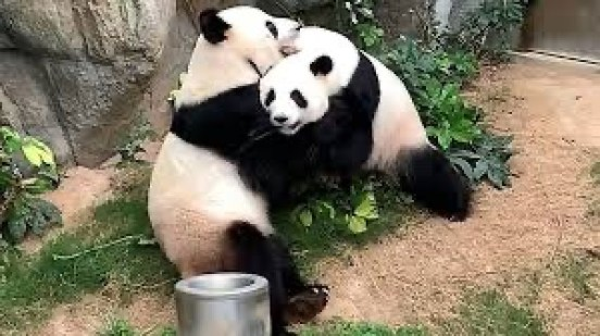 Two Hong Kong pandas mate during quarantine