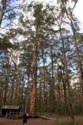 tree cl