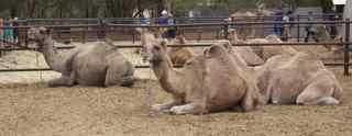 ayes rock camel r 5