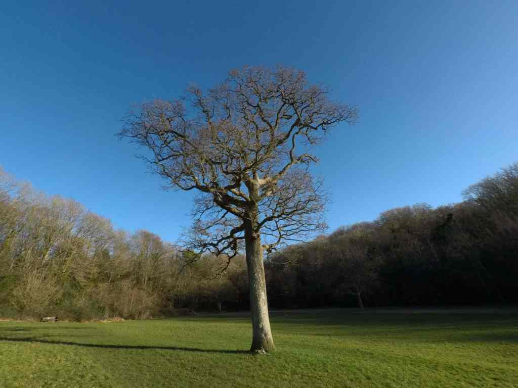 lone tree in porthkerry park