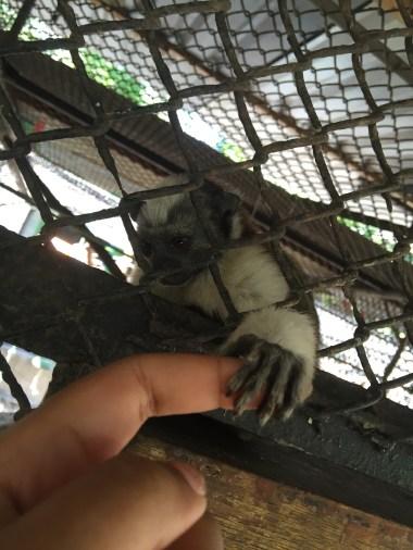 Marmoset (Costra Rica Animal Rescue Centre)