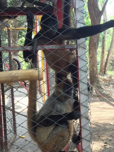 Spider Monkeys (Costa Rica Animal Rescue Centre)