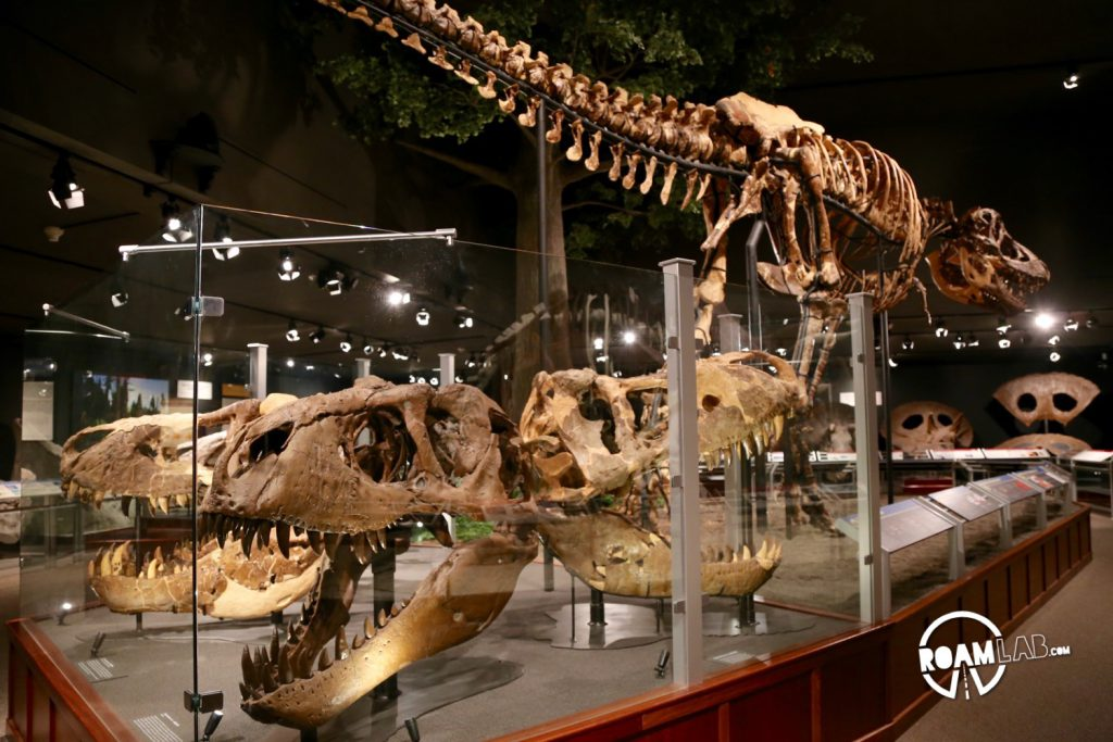The museum displays an extensive collection of T-Rex skulls. One fan forget how massive the heads were when they are suspended high above you.