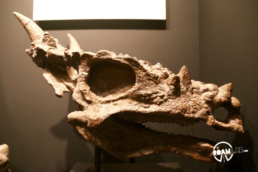 """I have to believe that some hollywood effects artist took inspiration from the Pachycephalosaurus wyomingensis when designing their take on the dragon. And certainly, dragons were on the minds of the paleontologists who named this growth state """"Dracorex hogwartsia."""" This is only the juvenile skull. If it had lived to full maturity, the skull crown would become larger and more bulbous."""