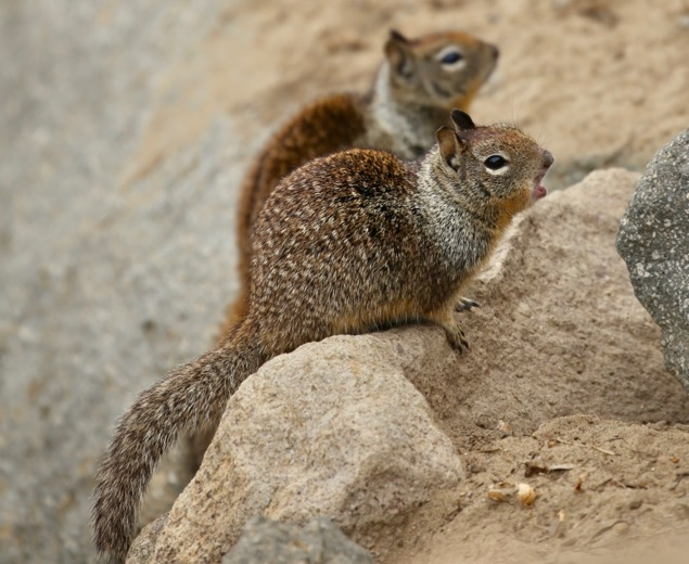 Morro Bay Ground Squirrels