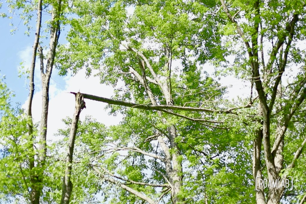 Broken branch spanning two trees.