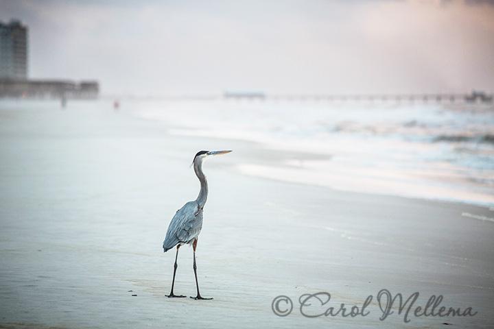 Blue Heron shore bird on the beach in Gulf Shores Alabama