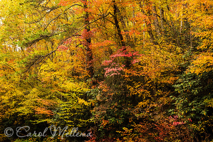 Trees in Autumn colors in Smoky Mountains National Park Tennessee