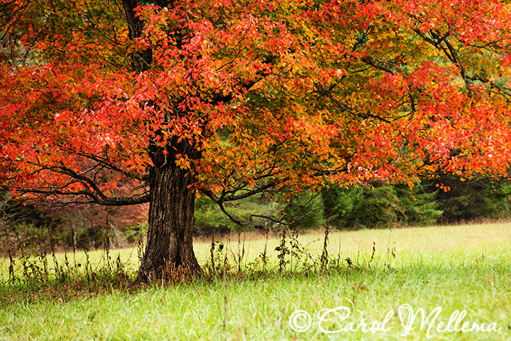 A beautiful tree in The Smoky Mountain Tennessee in fall colors