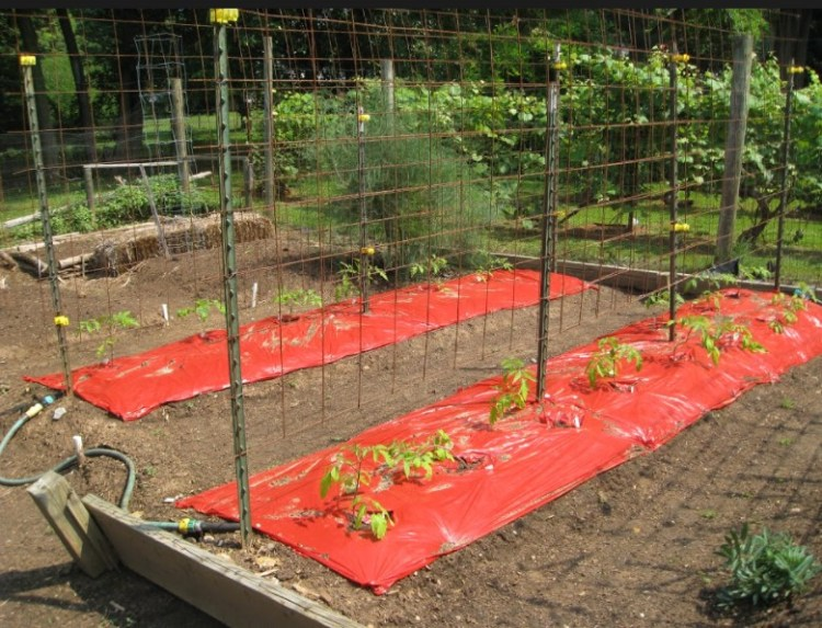 red bed tomatoes