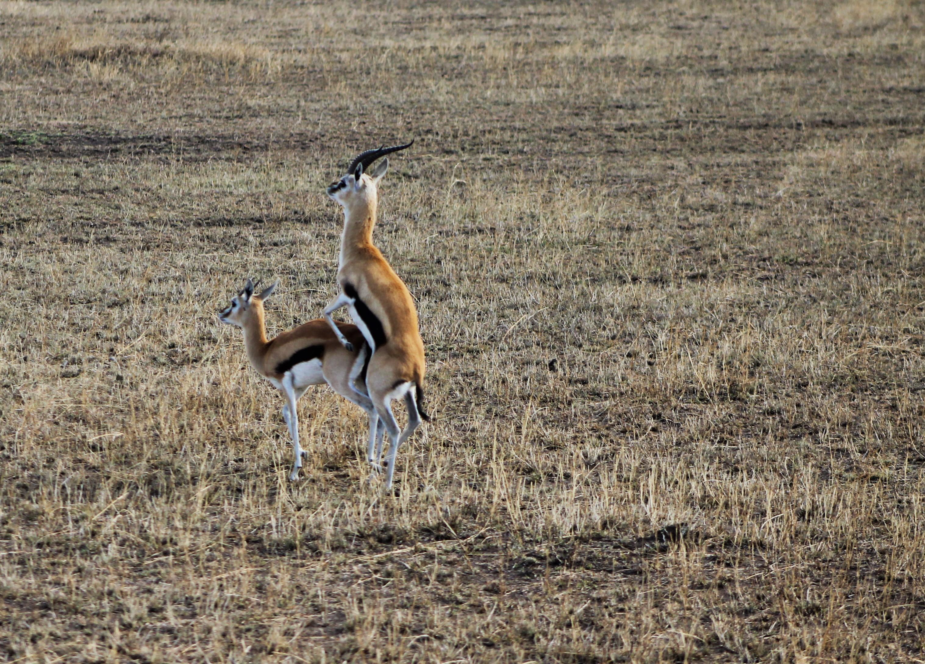 Gazelle sex