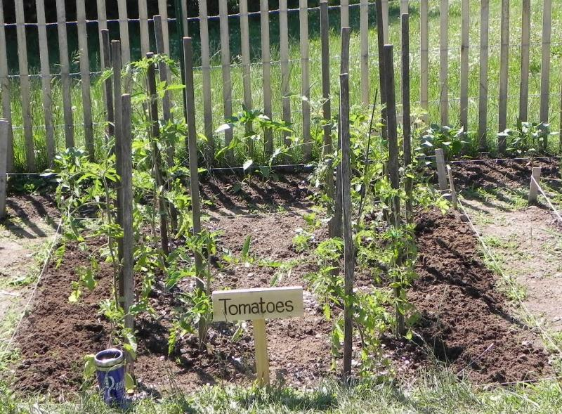 Now 10 tomato plants have the plot back to themselves.
