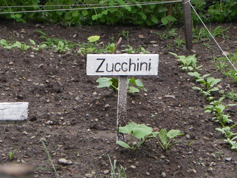 The young zucchini