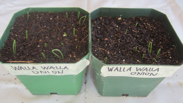 first onion seedlings of 2017