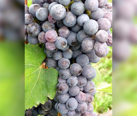 ¿Conoces la uva Nebbiolo? Este verano tendrá su propio festival