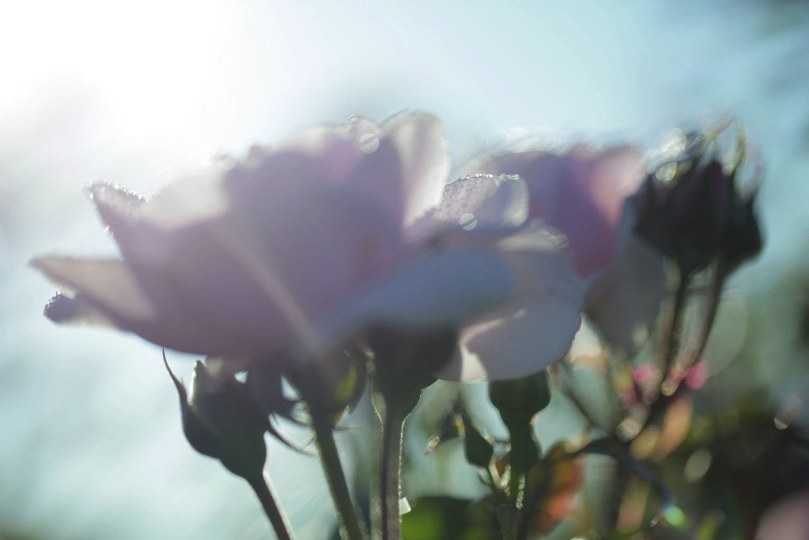 Dior-Prestige-crema-antienvejecimiento-con-rosa-de-Granville