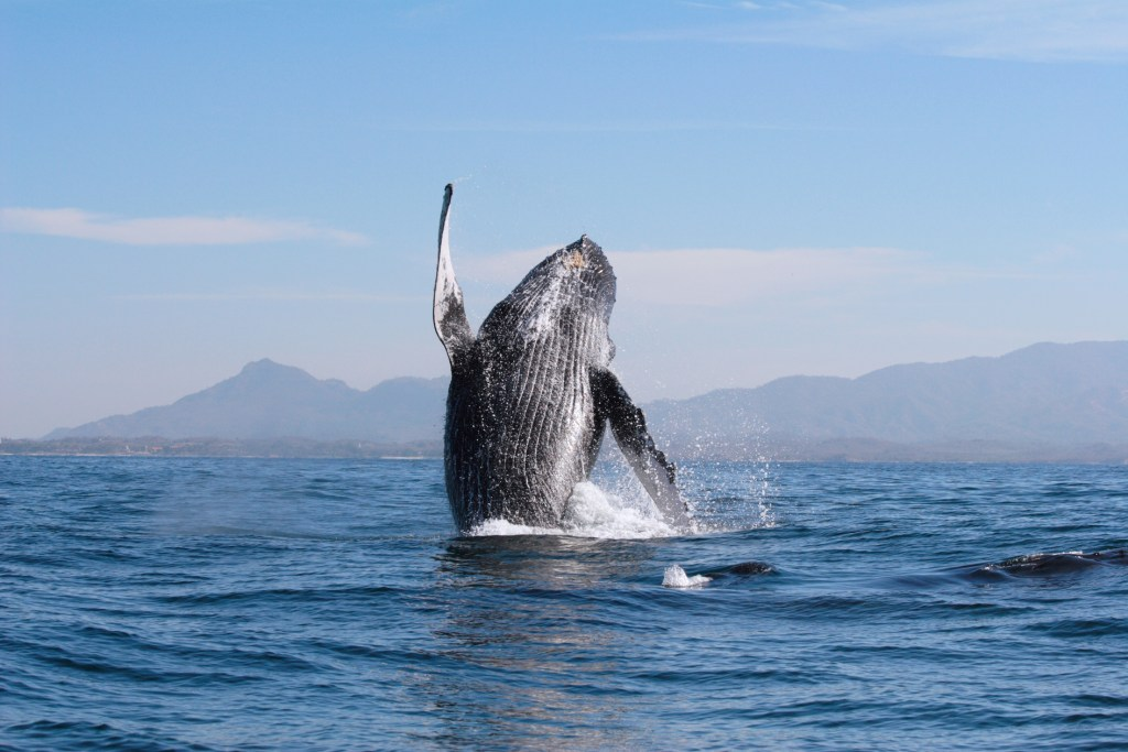 ¿Sin planes en diciembre? La temporada de avistamiento de ballenas en Riviera Nayarit te dejará impresionado