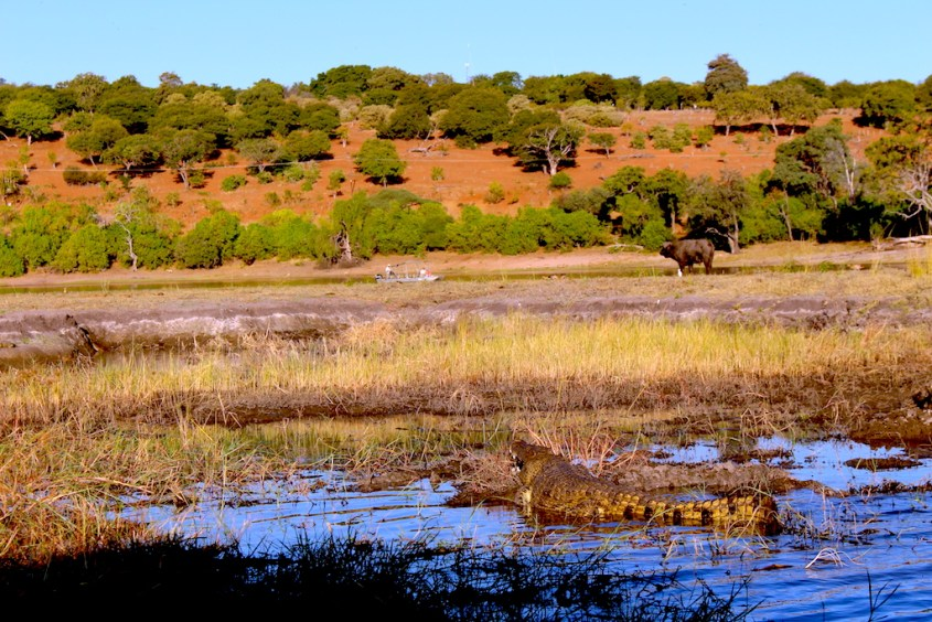 Crocodile and Cape Buffalo spotted during our Chobe River Safari by G Adventures Africa