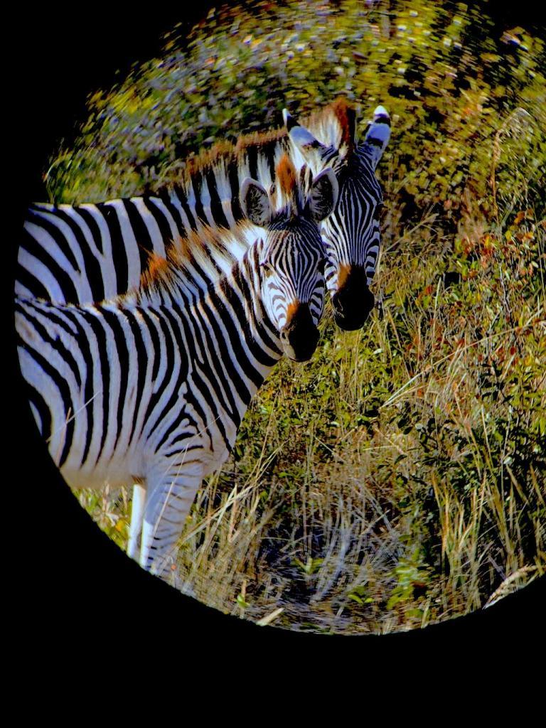 Zebra in the Kalahari Desert