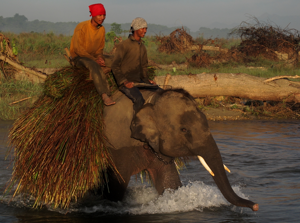 baby elephant with grass load