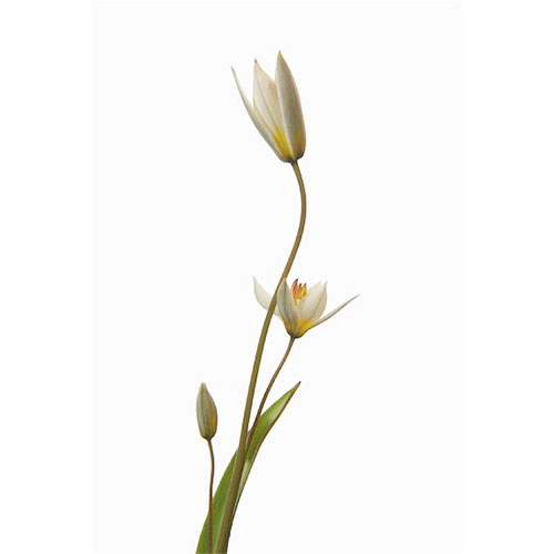Tulip - White Species Tuli[p
