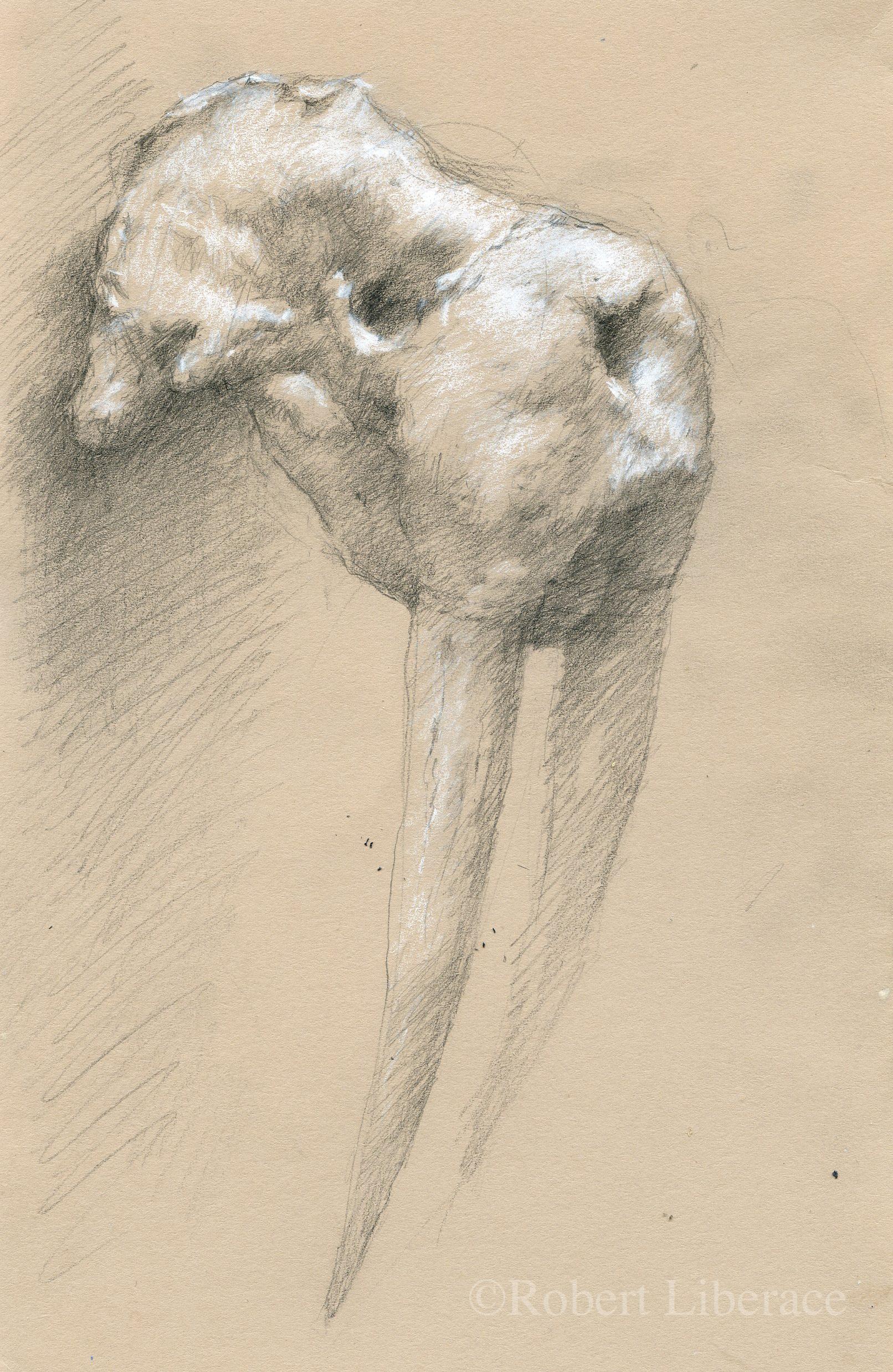 Robert Liberace walrus skull drawing charcoal chalk