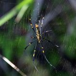 Northern_golden_orb_weaver_(Nephila_pilipes) wikipedia