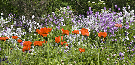 Poppies and Phlox