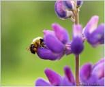 Bee Purple Lupine