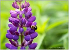 Purple Lupine Bee