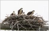 Osprey Family 4