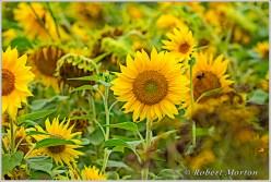 Sunflowers V