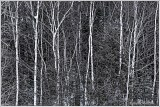 west-peninsula-birches-2-sb